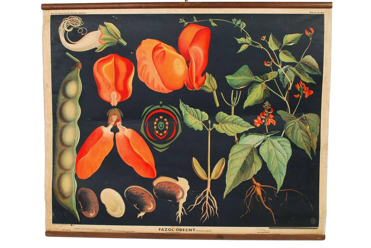 自然历史/3023-Phaseolus vulgaris