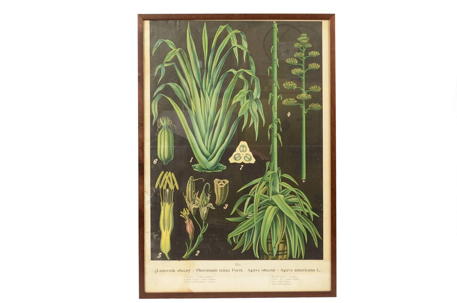 Storia naturale/4181-Agave Americana