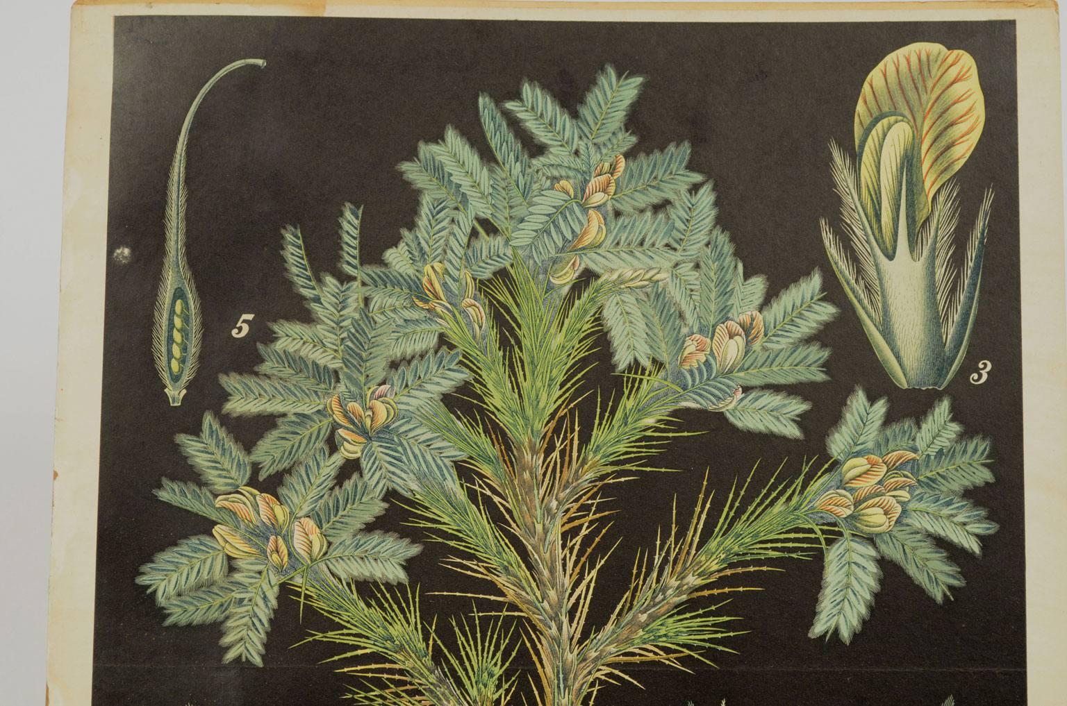Storia naturale/4182-Astragalus creticus Lam