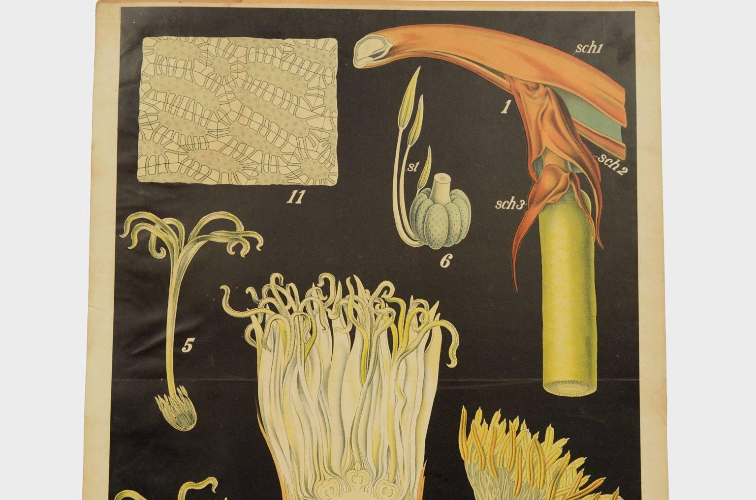 Storia naturale/4183-Phytelephas microcarpa