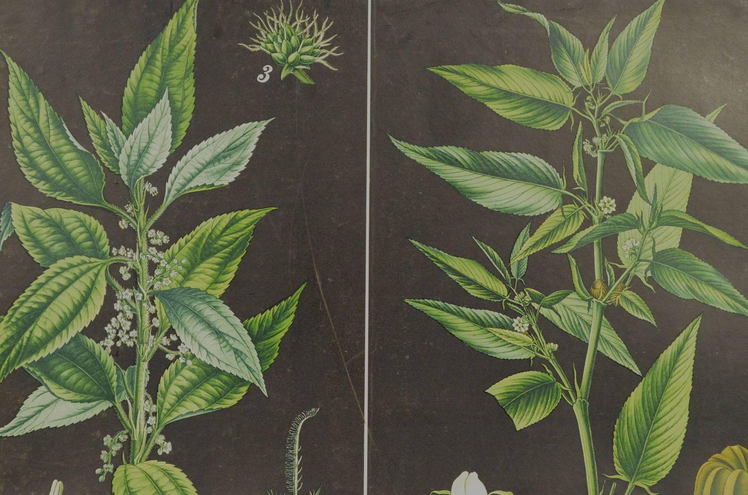 Storia naturale/4187-1-Boehmeria tenacissima