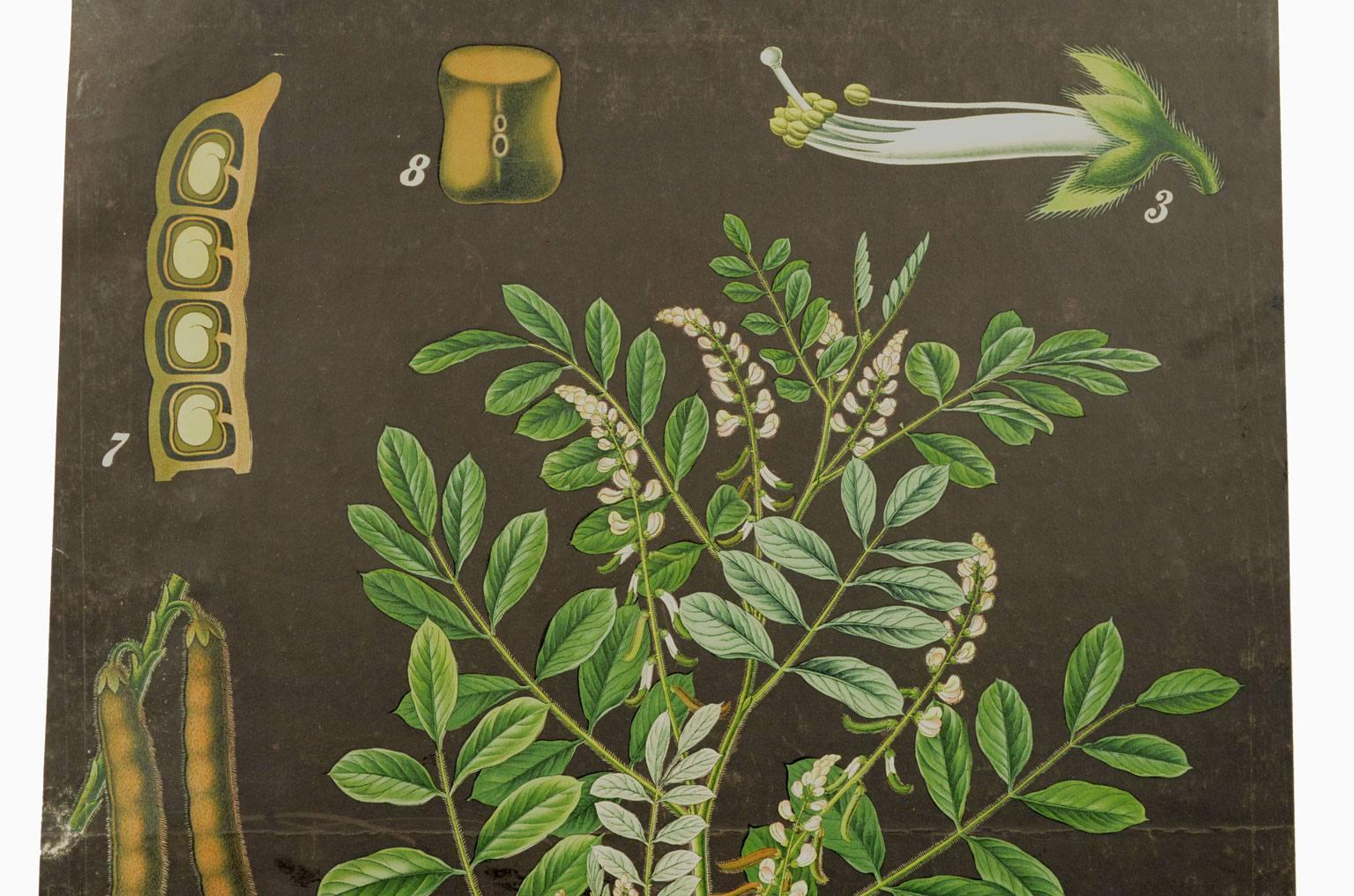 自然历史/4188-Indigofera tinctoria