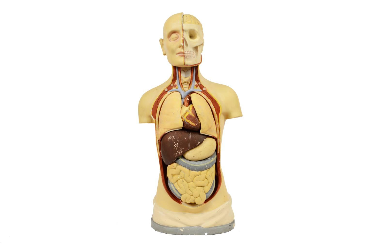 Strumenti medici d'epoca/496A-Modello anatomico