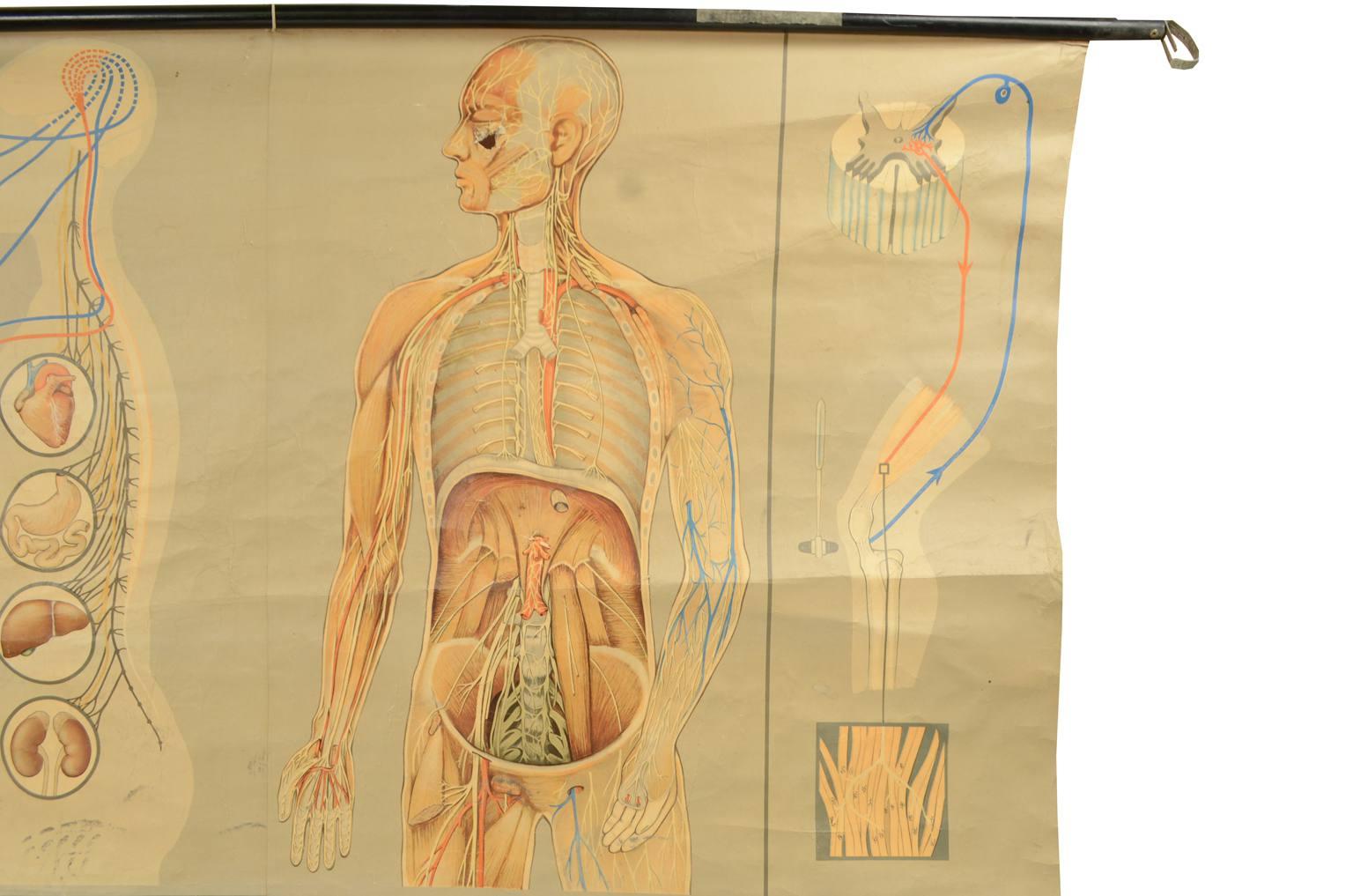 Strumenti medici d'epoca/544A-Tavola anatomica