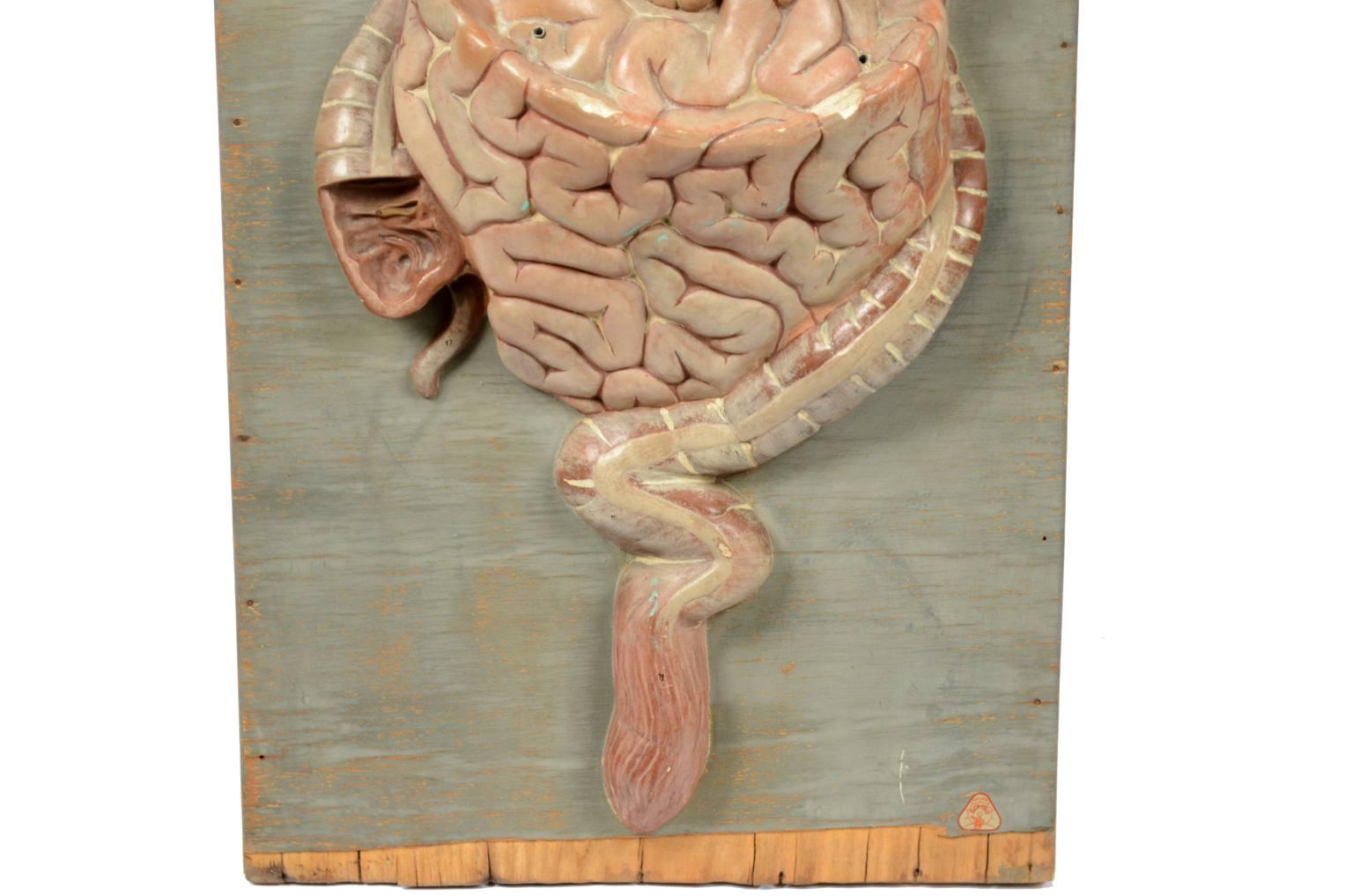 Strumenti medici d'epoca/5703-Modello sistema digestivo