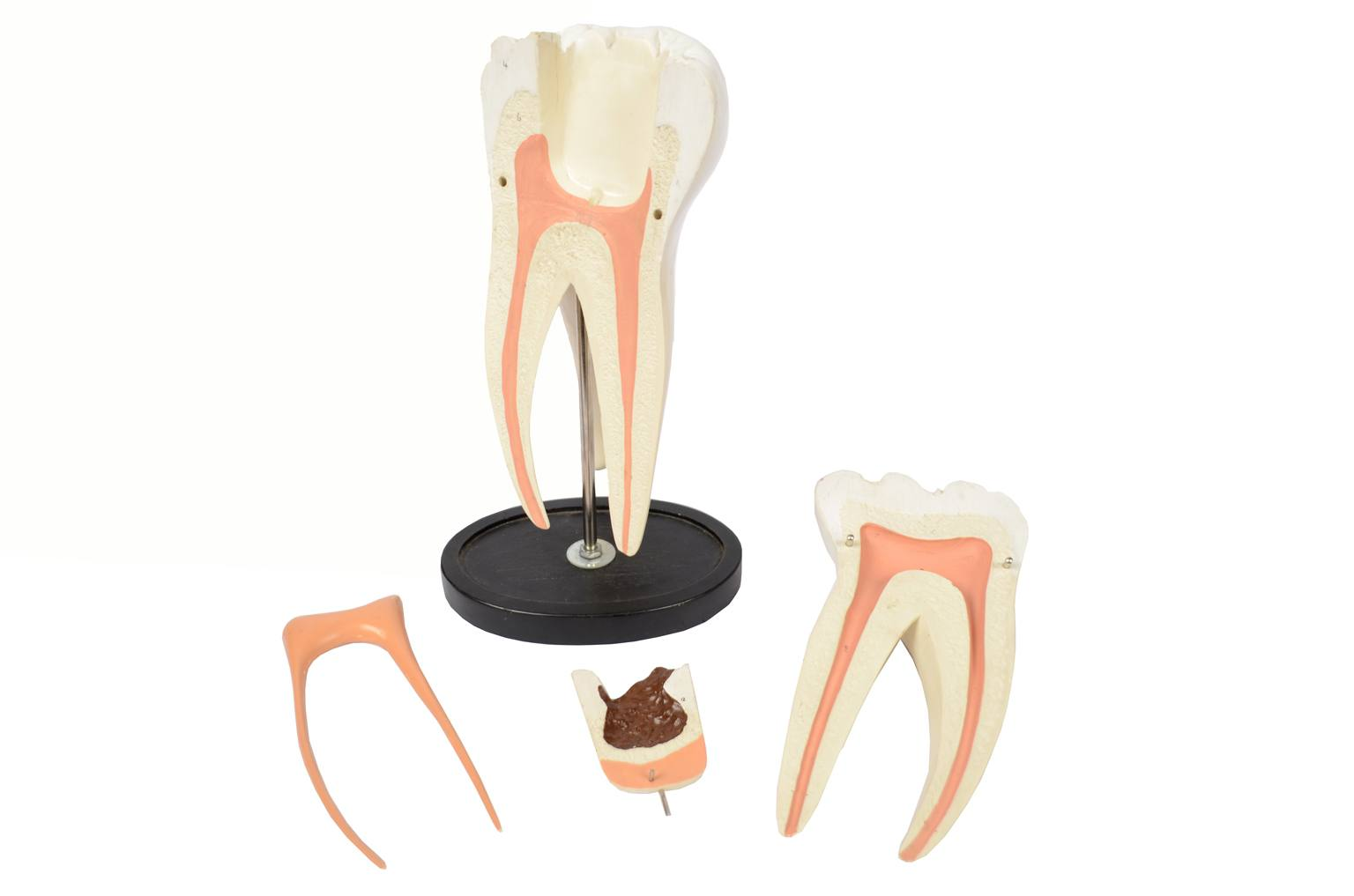 Strumenti medici d'epoca/5803-Modello di un molare