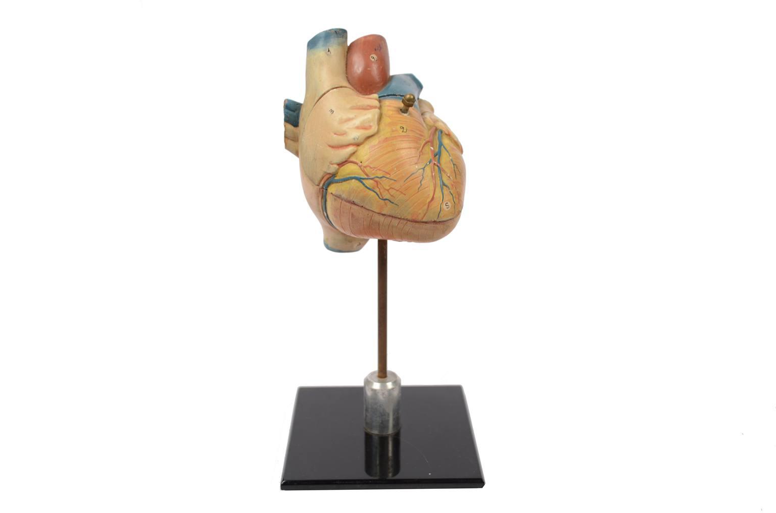 古医疗器具/6131-心脏的解剖模型