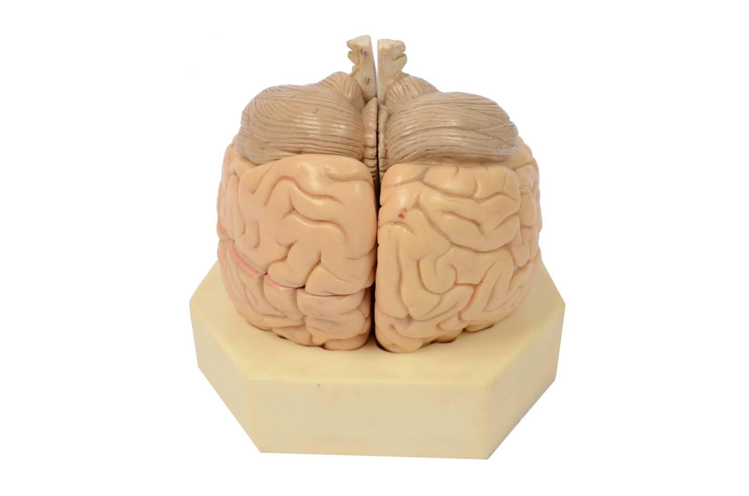 Strumenti medici d'epoca/6133-Modello cervello