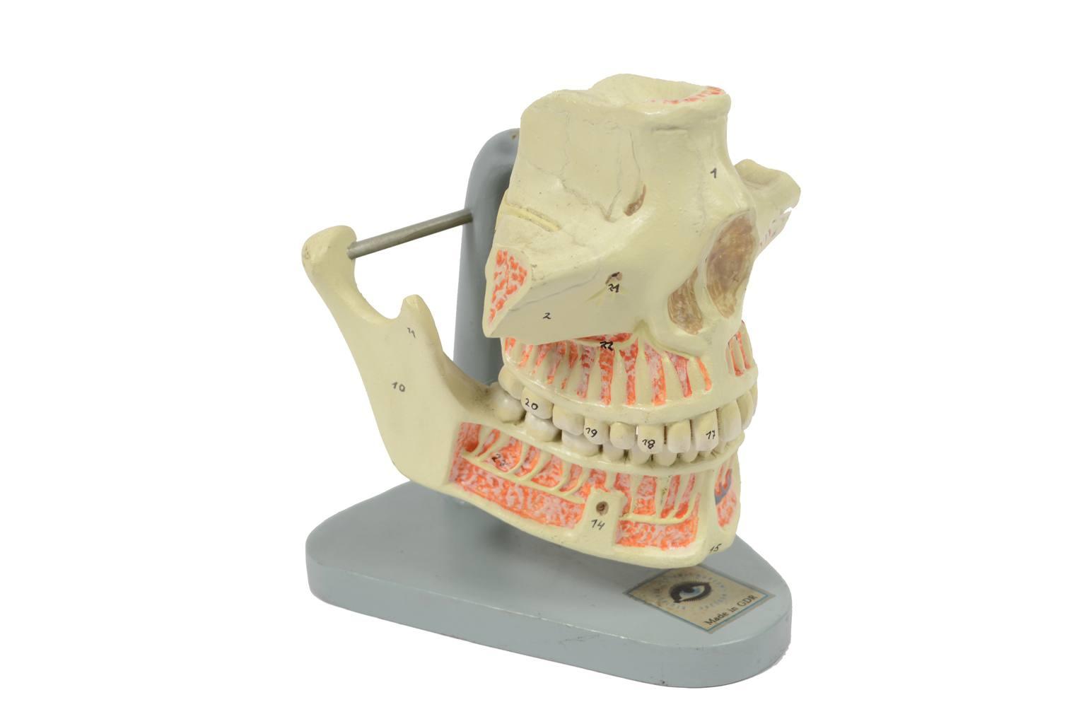Strumenti medici d'epoca/6136-Modello mandibola