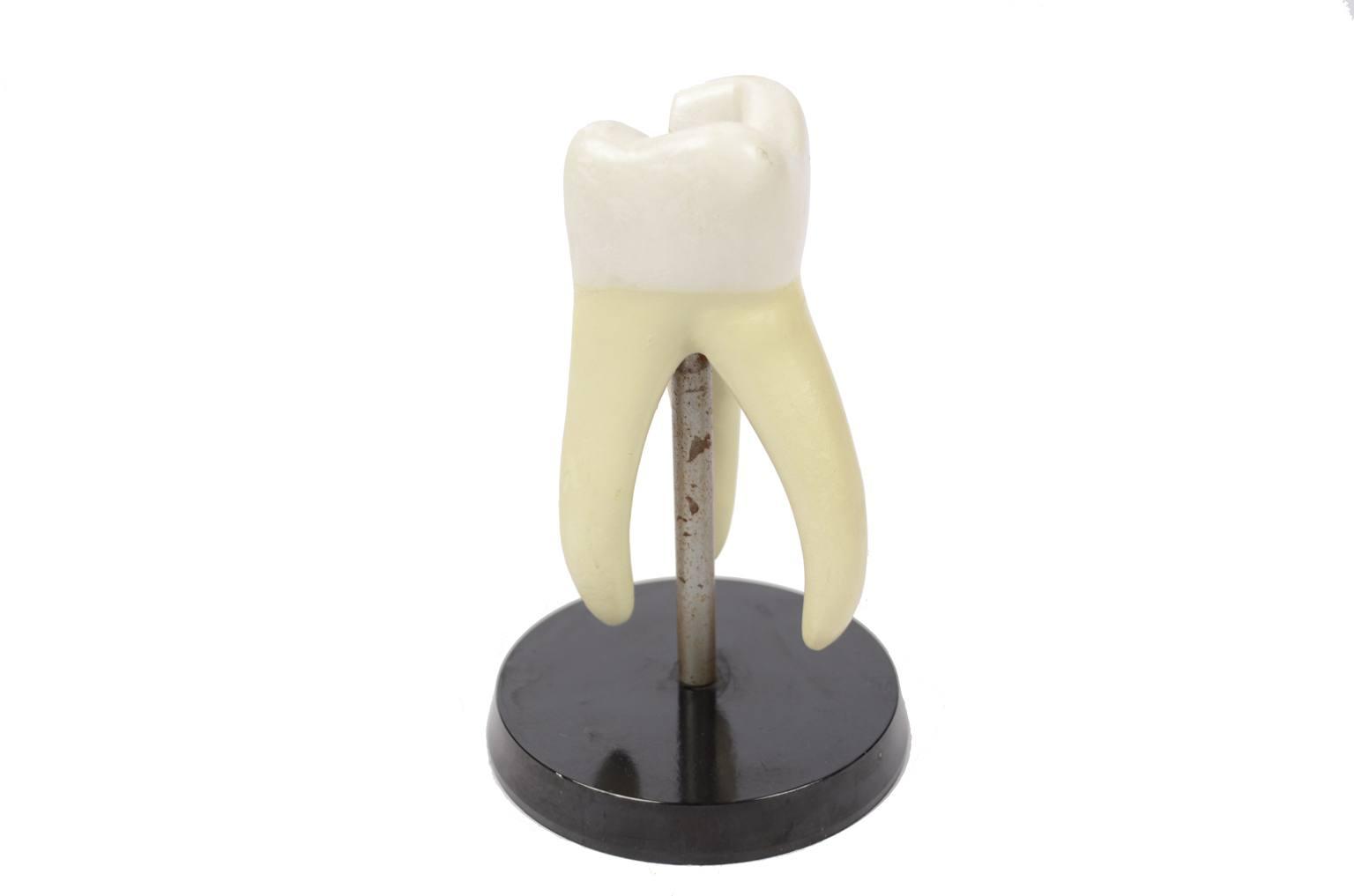 Strumenti medici d'epoca/6137-Modello molare