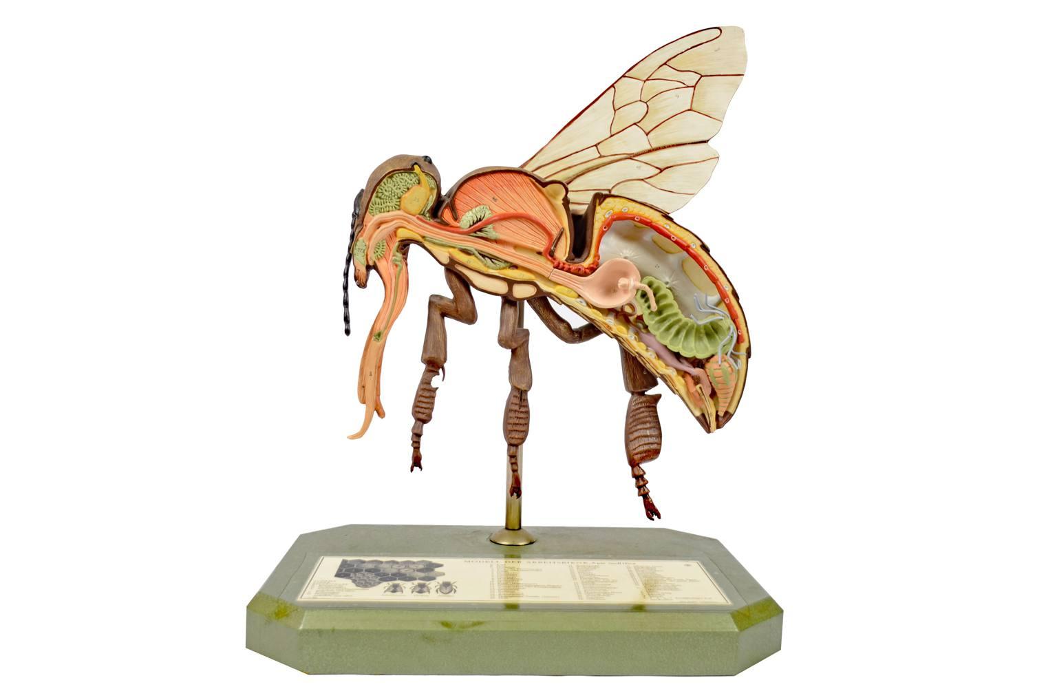 Storia naturale/6296-Modello ape