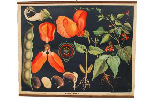 Storia naturale/3023-Phaseolus vulgaris/Più info