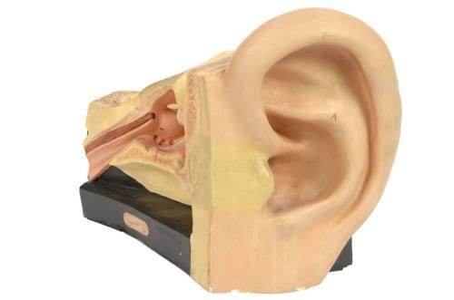 Old medical instruments/4164-Ear model/More info