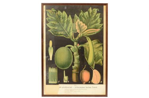 /4184-Artocarpus incisa Forst/
