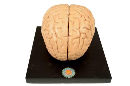 /5634-Modello cervello/