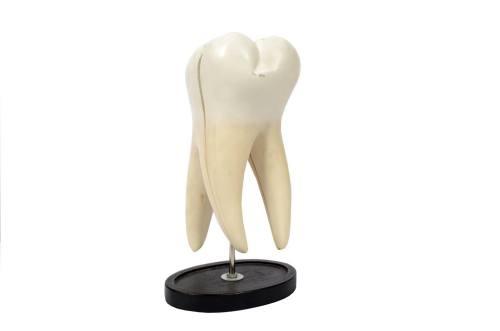 Cod. 5803-Modello di un molare