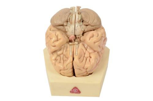 Cod. 6133-Modello cervello