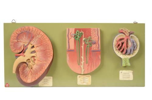古医疗器具/6138A-型解剖学教学模型/更多信息